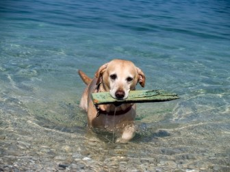 Yellow labrador carries a board out of the sea