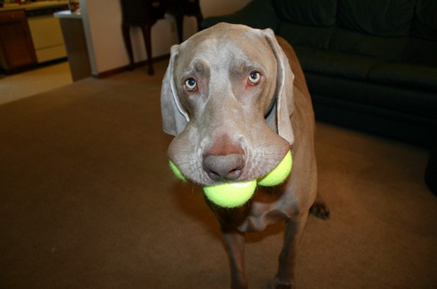 Dog_Tennis_Ball_9