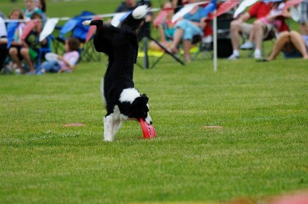 Frisbee_Dog_9