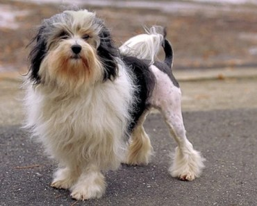 Dog Breed of the Day:  Lowchen
