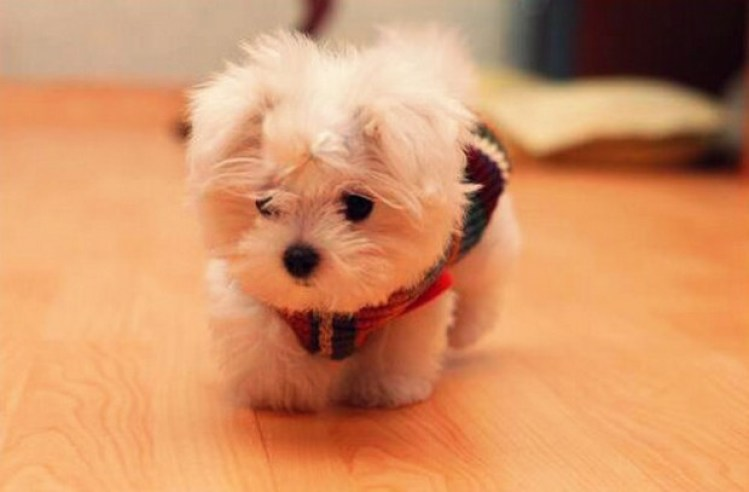 20 Cool Facts About The Maltese Breed