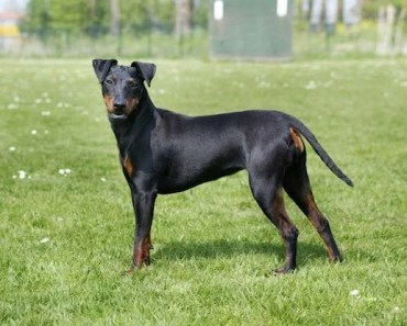 Dog Breed of the Day: Manchester Terrier