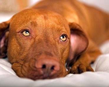 Diabetes in Dogs:  Symptoms and Treatment