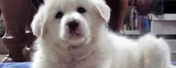 Dog Breed of the Day:  Maremma Sheepdog