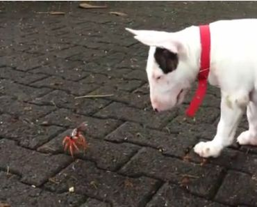 Bull Terrier has Encounter with a Crab