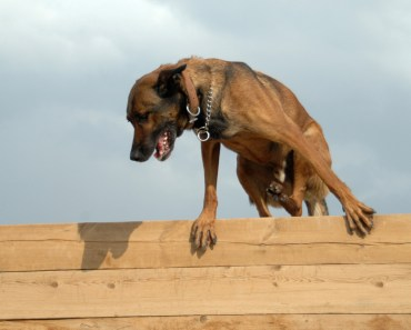 Safety Tips:  Dogs that Overdo It