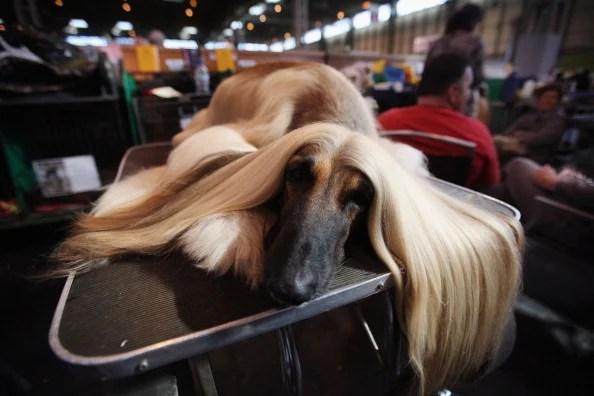 Dogs And Owners Gather For 2012 Crufts Dog Show