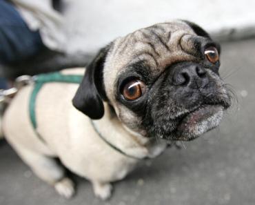 Top 10 Dog Breeds of 2013