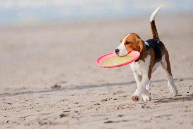 Beagle frisbee