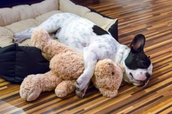 Bulldog and stuffed animal