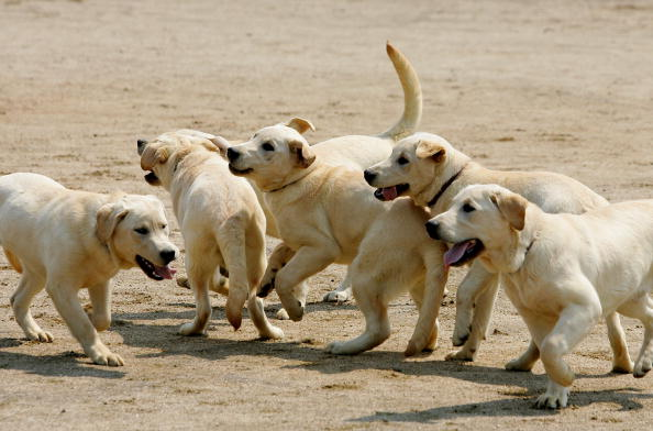 Cloned Sniffer Dogs Begin Training
