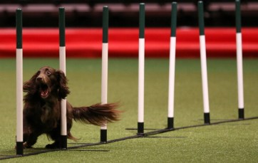 A dog competes in the agility competition