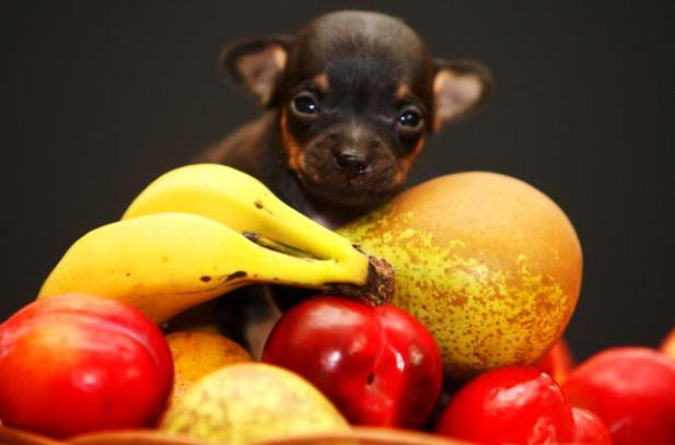 Newborn Chihuahua Is One Of The World's Smallest Puppies