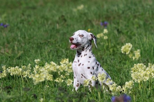 dalmation in the grass