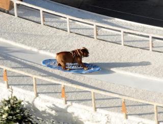 bulldog snowboarder for the win