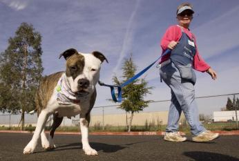 pit bull goes for walk in Cali