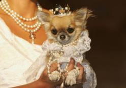 Chihuahua princess