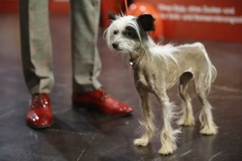 Chinese crested at show