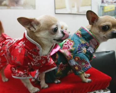 Chihuahuas being all fancy