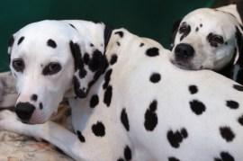 Dalmatians snuggling