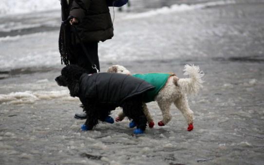 Labradoodles walk in rain