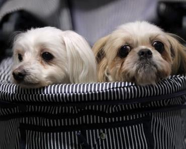 maltese and a shih tzu