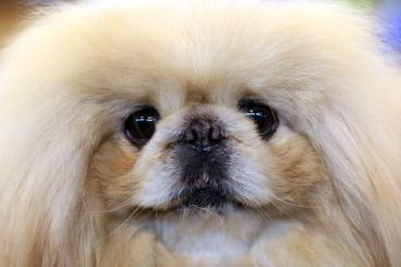 Pekingese face close up