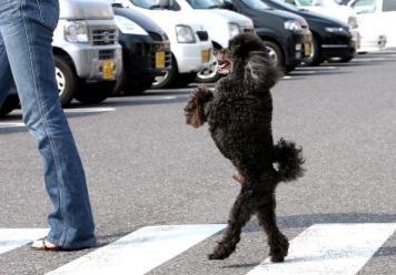 Poodle walks on hind legs