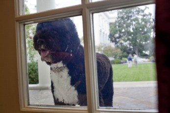 Portuguese water dog at whitehouse