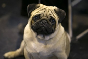 Pug looks puzzled