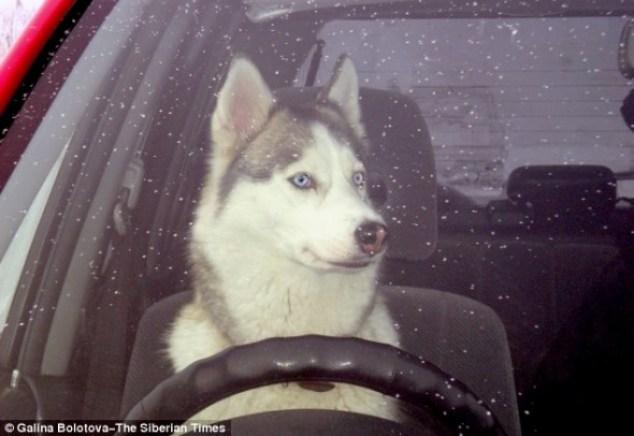 4.24.14-Driving-Husky-590x406