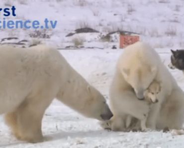 Watch A Group Of Polar Bears Befriend A Pack Of Sled Dogs