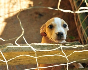 Rescue Dog Timmy the Pit Bull is a Poster Child For Abused Dogs