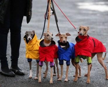 Should You Own an Italian Greyhound?