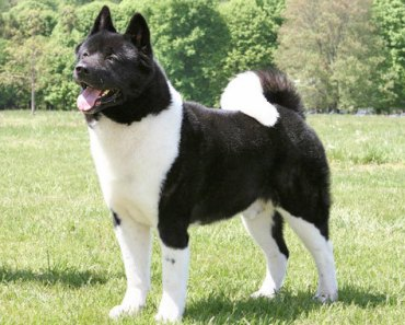 The Top Five Akita Rescue Shelters in the U.S.