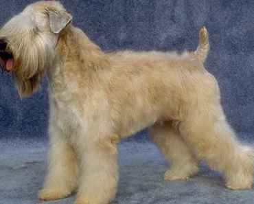 Five Things You Didn't Know about the Wheaten Terrier