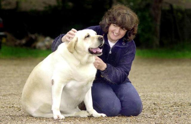 Labrador Dog Forced Onto Diet