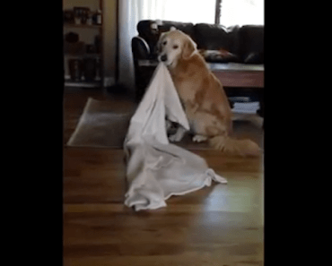 Golden Retriever Won't Do Anything Without His Blankie