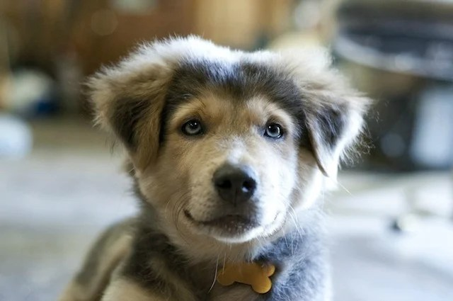 Should You Adopt A German Shepherd Siberian Husky Mix For Your Family