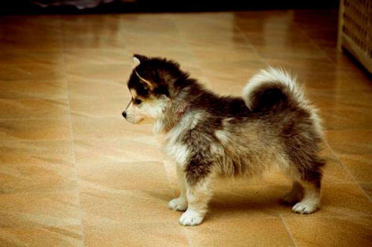 pomeranian husky puppy