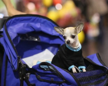 The Questions You Need to Ask Before Getting a Teacup Chihuahua