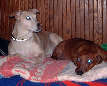The Pitbull Dachshund Mix: A Very Odd Breed Combo