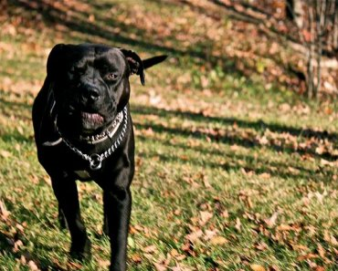 The Bullmastiff Pitbull Mix: Are These Dogs An Aggressive Breed By Nature?