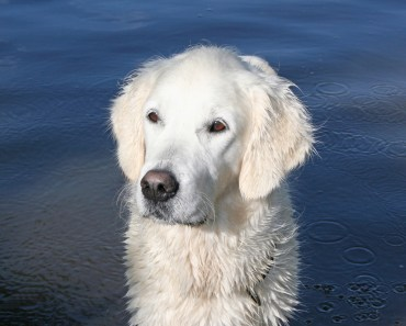 The English Golden Retriever: Not a Different Breed But A Different Standard