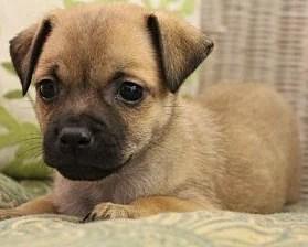 The Pug Chihuahua Mix AKA Chug: Fun, Fierce, and Fascinating