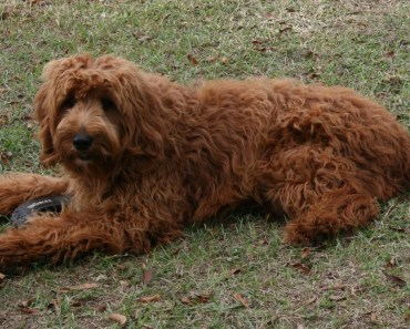 The Benefits of Choosing an Adult Goldendoodle from a Rescue