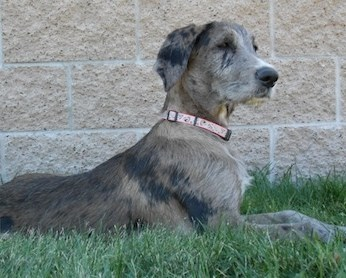 Why The Great Dane Poodle Mix Makes A Great Pet
