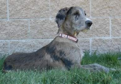 Why The Great Dane Poodle Mix Makes A Great Pet Puppy Toob