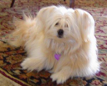 If You Want a Perfect Shih Tzu and Pomeranian Cross Consider a Shiranian