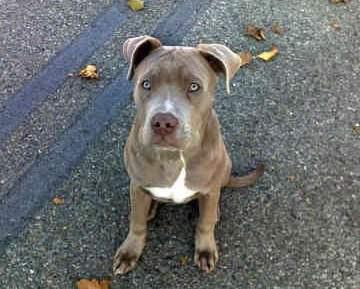 The Pitbull Mastiff Mix: A Powerful Protection Dog